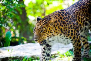 leopard34